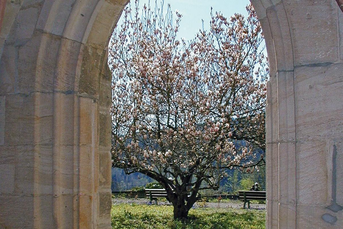 Blick aus dem Kreuzgang von Kloster Lorch auf eine Magnolie