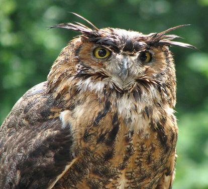 Eagle owl at the Staufer falconry, Lorch Monastery. Image: Staatliche Schlösser und Gärten Baden-Württemberg, Julia Haseloff