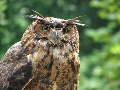 Lorch monastery, an owl from the Hohenstaufen falconry